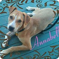 Adopt A Pet :: Annabelle - Blue Bell, PA