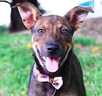 Shepherd (Unknown Type)/Terrier (Unknown Type, Medium) Mix Puppy for adoption in San Ramon, California - Ailee