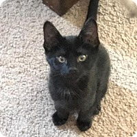 Adopt A Pet :: Midnight - San Tan Valley, AZ