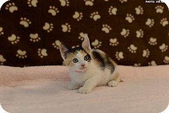 Domestic Shorthair Kitten for adoption in Medina, Ohio - Frederica