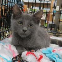 Domestic Shorthair/Domestic Shorthair Mix Cat for adoption in Ellicott City, Maryland - Bam Bam