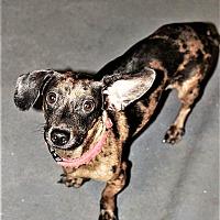 Adopt A Pet :: Figgy - Tavares, FL