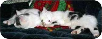 Domestic Shorthair Cat for adoption in Niles, Michigan - Kringle