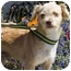 Photo 2 - Poodle (Miniature) Mix Puppy for adoption in Berkeley, California - Archie