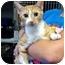 Photo 1 - Domestic Shorthair Cat for adoption in Warren, Michigan - Mamma O