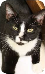 Domestic Longhair Cat for adoption in Chicago, Illinois - Fritz
