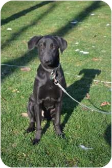 Labrador Retriever Mix Dog for adoption in Lewisville, Indiana - Happy
