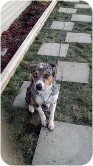 Australian Shepherd/Catahoula Leopard Dog Mix Dog for adoption in New Baltimore, Michigan - Connor