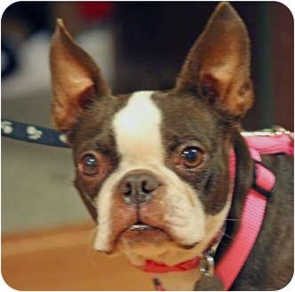 Boston Terrier Dog for adoption in Lynnwood, Washington - Nutmeg