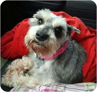 Schnauzer (Miniature) Mix Dog for adoption in North Benton, Ohio - Princess