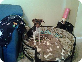 Fox Terrier (Smooth) Dog for adoption in Ocean Ridge, Florida - Brandy
