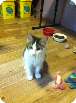 Maine Coon Cat for adoption in Monroe, Georgia - Miles