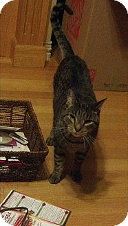 Domestic Shorthair Cat for adoption in Bentonville, Arkansas - Seraph