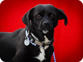Corgi/Labrador Retriever Mix Dog for adoption in Los Angeles, California - Otis