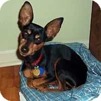 Miniature Pinscher Dog for adoption in Nashville, Tennessee - Izzy