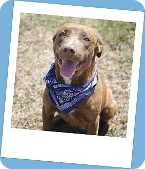 Labrador Retriever Mix Dog for adoption in Corpus Christi, Texas - Leo