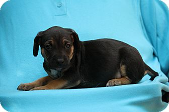 Beagle Mix Puppy for adoption in West Milford, New Jersey - JESSY