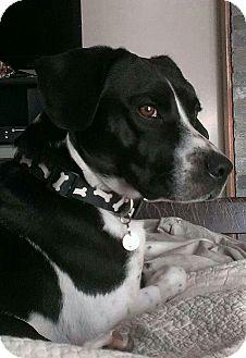 Basset Hound/Cattle Dog Mix Dog for adoption in Flower Mound, Texas - Jake