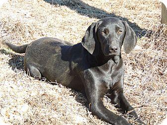Labrador Retriever/Coonhound (Unknown Type) Mix Dog for adoption in Hagerstown, Maryland - Tom