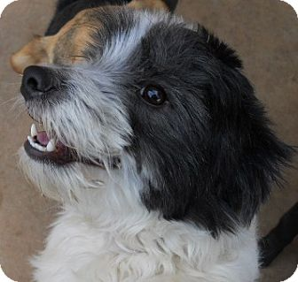 Poodle (Miniature)/Schnauzer (Miniature) Mix Dog for adoption in dewey, Arizona - Priscilla