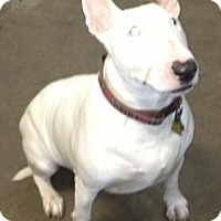 Adopt A Pet :: Zuza meaning sweet - Burr Ridge, IL