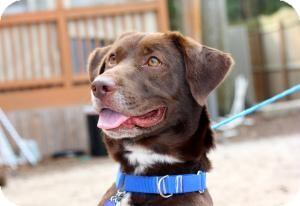 Corgi/Labrador Retriever Mix Dog for adoption in Tallahassee, Florida - Hershey