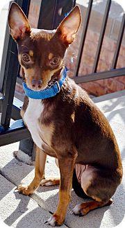Chihuahua/Miniature Pinscher Mix Dog for adoption in Bridgeton, Missouri - Dixie-Adoption pending