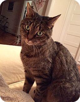Domestic Shorthair Cat for adoption in Richmond, Virginia - Doddie