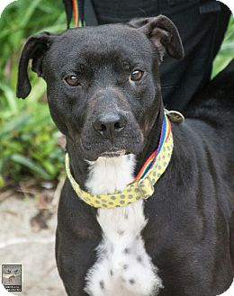 Pit Bull Terrier/Labrador Retriever Mix Dog for adoption in Sharon Center, Ohio - Sophie - Courtesy Post