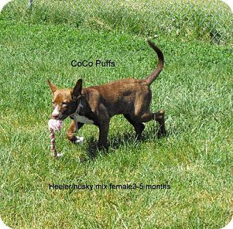 Australian Cattle Dog Mix Dog for adoption in Napoleon, Ohio - CoCo Puffs