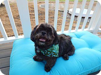 Shih Tzu Dog for adoption in West Deptford, New Jersey - Chase