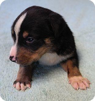 German Shepherd Dog Mix Puppy for adoption in San Pablo, California - BELLAS PUP 5