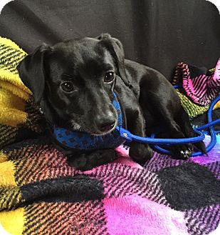 Chihuahua Mix Puppy for adoption in Ft. Lauderdale, Florida - Richie