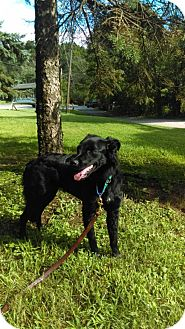 Labrador Retriever/Collie Mix Puppy for adoption in South Park, Pennsylvania - Pebbles