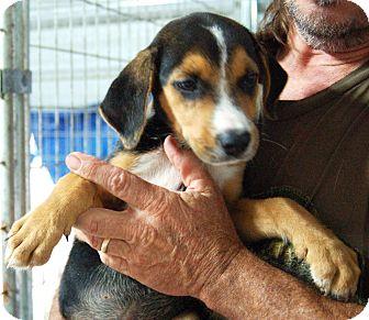 Hound (Unknown Type)/Labrador Retriever Mix Puppy for adoption in Hammonton, New Jersey - rose