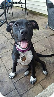 Boxer/Pointer Mix Puppy for adoption in Romeoville, Illinois - Zoey