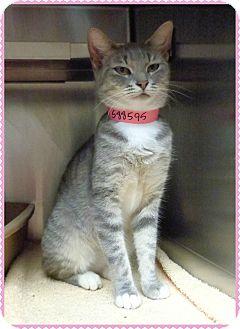 Domestic Shorthair Cat for adoption in Marietta, Georgia - JENNY adoptable 9/7