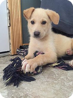 Siberian Husky Mix Puppy for adoption in Shingleton, Michigan - Alisa