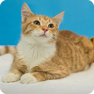 Domestic Shorthair Cat for adoption in Houston, Texas - Bryant