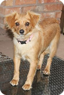 Chihuahua Mix Dog for adoption in Pittsburgh, Pennsylvania - Fancy