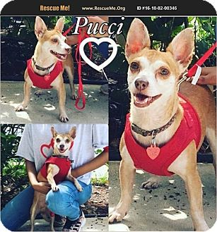 Chihuahua Mix Dog for adoption in Homestead, Florida - Pucci