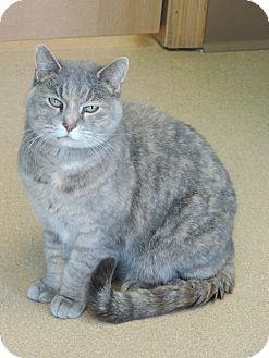 Domestic Shorthair Cat for adoption in Brookings, South Dakota - Smokey