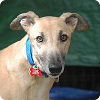 Adopt A Pet :: Blade - Ware, MA