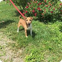 Adopt A Pet :: Shorty - Orleans, VT