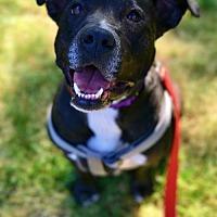 Adopt A Pet :: Molly - Whitehouse Station, NJ