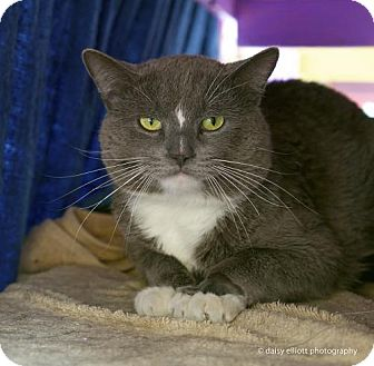 Domestic Shorthair Cat for adoption in Tucson, Arizona - Iago