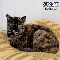 Domestic Shorthair Cat for adoption in Portsmouth, Virginia - Bethesda