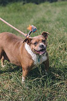 Pit Bull Terrier/Pug Mix Dog for adoption in Nashville, Tennessee - Baby Girl Tasha