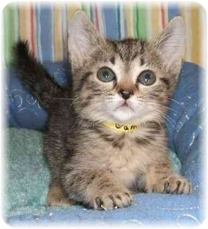 Domestic Shorthair Cat for adoption in Naples, Florida - Gamble