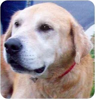 Golden Retriever/Labrador Retriever Mix Dog for adoption in Pawling, New York - MAX